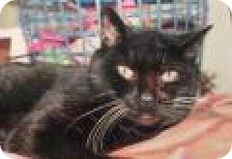Domestic Shorthair Cat for adoption in Breinigsville, Pennsylvania - Fred
