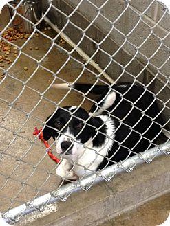 Labrador Retriever Mix Dog for adoption in Minneapolis, Minnesota - Midnight