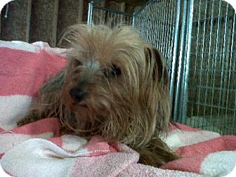 Yorkie, Yorkshire Terrier Dog for adoption in Bloomington, Illinois - Harrington