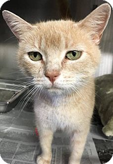 Domestic Shorthair Cat for adoption in Voorhees, New Jersey - Molly - PetValu Somerdale