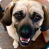Adopt A Pet :: Tillie - Pawling, NY