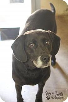 Labrador Retriever/Beagle Mix Dog for adoption in Yukon, Oklahoma - Buddy