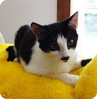 Domestic Shorthair Kitten for adoption in N. Billerica, Massachusetts - Demaris