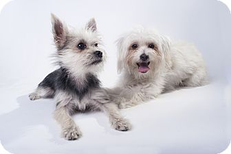Maltese/Yorkie, Yorkshire Terrier Mix Puppy for adoption in Los Angeles, California - Noodles