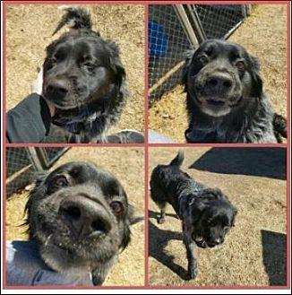 Australian Shepherd/Border Collie Mix Dog for adoption in Dallas, Texas - Hoss (CP)
