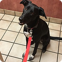 German Shorthaired Pointer/Border Collie Mix Dog for adoption in Arlington, Texas - Piper