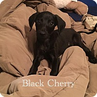 Adopt A Pet :: Black Cherry - Naples, FL
