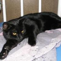 Adopt A Pet :: Shadow Taylor - Oswego, NY