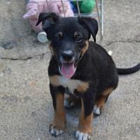 Adopt A Pet :: Gonzo - Southbury, CT