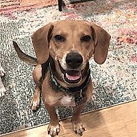 Adopt A Pet :: Bagel - Houston, TX