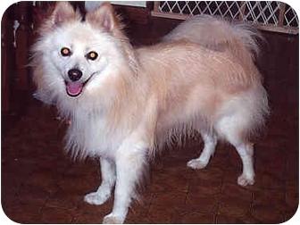 Pomeranian Dog for adoption in Owatonna, Minnesota - Petey