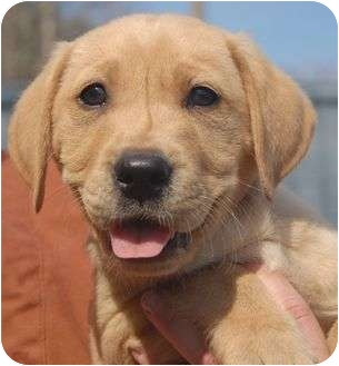 Labrador Retriever/Hound (Unknown Type) Mix Puppy for adoption in Spring Valley, New York - Billy