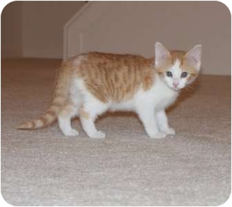 Domestic Shorthair Kitten for adoption in Barnegat, New Jersey - Rudy
