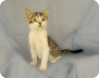 Domestic Shorthair Kitten for adoption in Richmond, Virginia - Hana & Tomi