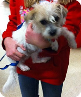 Terrier (Unknown Type, Small) Mix Puppy for adoption in Loudonville, New York - Emily