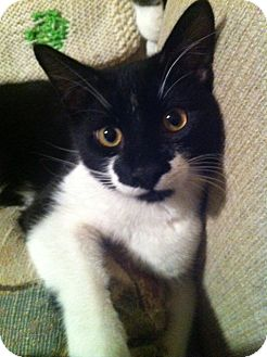 Domestic Shorthair Cat for adoption in Little Falls, New Jersey - Alvin (LE)