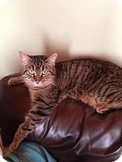 Domestic Shorthair Cat for adoption in Woodstock, Ontario - Clayton