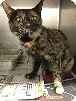 Domestic Shorthair Cat for adoption in Chicago, Illinois - Tallulah