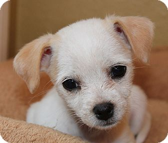 Beagle/Chihuahua Mix Puppy for adoption in La Habra Heights, California - Tiny Gigi