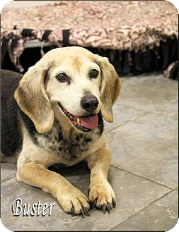 Beagle Dog for adoption in Chester, Maryland - Buster