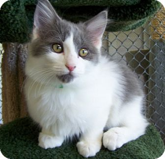 Domestic Longhair Kitten for adoption in Grants Pass, Oregon - Camry