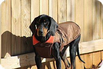 Coonhound Dog for adoption in Greenville, South Carolina - Adele