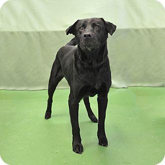 Labrador Retriever Mix Dog for adoption in South Haven, Michigan - Doogie