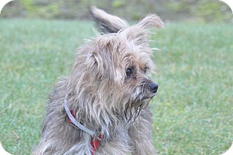 Silky Terrier/Yorkie, Yorkshire Terrier Mix Dog for adoption in Tumwater, Washington - Lucy
