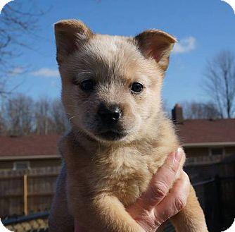 Australian Cattle Dog Mix Puppy for adoption in Indianapolis, Indiana - Jasmine