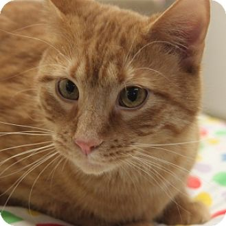 Domestic Shorthair Cat for adoption in Naperville, Illinois - Big Red