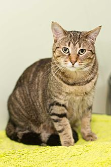Domestic Shorthair Cat for adoption in Chicago, Illinois - Rosemary