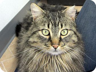 Maine Coon Cat for adoption in Republic, Washington - Moussaka