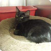 Adopt A Pet :: Lil Bear - Lawrenceville, GA