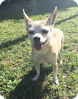 Chihuahua Mix Dog for adoption in Boca Raton, Florida - Jill