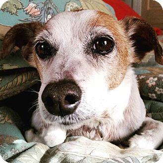 Jack Russell Terrier Dog for adoption in Va Beach, Virginia - Romeo