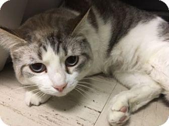 Domestic Shorthair Cat for adoption in Medina, Ohio - Selena
