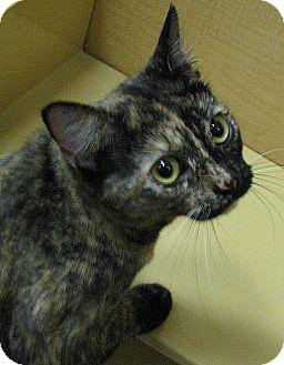 Domestic Shorthair Cat for adoption in Tulsa, Oklahoma - ChiChi