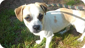 Chihuahua/Pug Mix Dog for adoption in Lebanon, Connecticut - Lucky