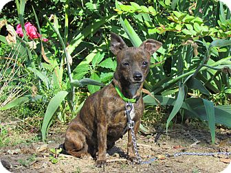 Chihuahua Mix Dog for adoption in Bedminster, New Jersey - LIZZIE