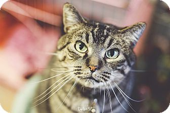 Domestic Shorthair Cat for adoption in New Richmond,, Wisconsin - Buzzy - Adoption Fee Waived!