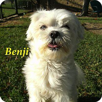 Maltese/Poodle (Miniature) Mix Dog for adoption in El Cajon, California - Benji