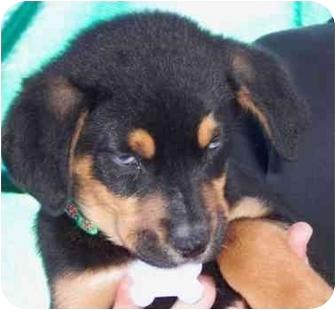 Australian Shepherd/Doberman Pinscher Mix Puppy for adoption in West Los Angeles, California - Amelia