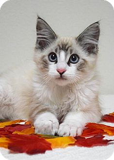 Domestic Mediumhair Kitten for adoption in Dublin, California - Evan