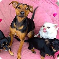 Adopt A Pet :: *Valentine * Video - Pasadena, CA