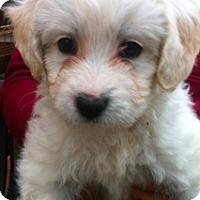Adopt A Pet :: Crush - Simi Valley, CA