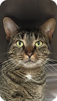 Domestic Shorthair Cat for adoption in Seville, Ohio - James-FIV Pos