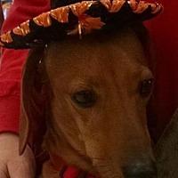 Dachshund Dog for adoption in Nashville, Tennessee - Skippy