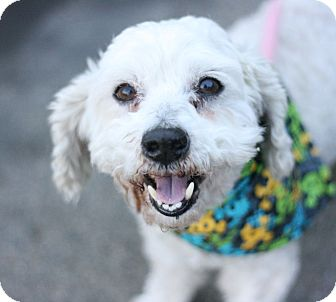 Poodle (Miniature) Mix Dog for adoption in Canoga Park, California - Jacques