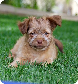 Yorkie, Yorkshire Terrier/Maltese Mix Puppy for adoption in San Diego, California - Nelson