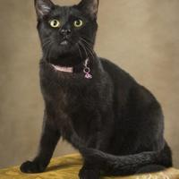 Domestic Shorthair/Domestic Shorthair Mix Cat for adoption in Waco, Texas - Misty